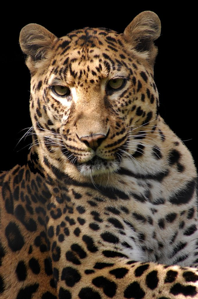 """musts: """" by © Chris Humphries Leopard """""""
