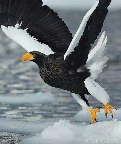 Steller's Sea Eagle - coastal north-east Asia