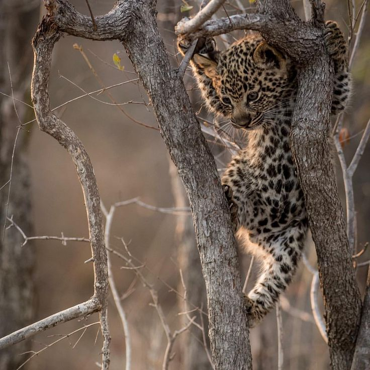 "Ross Couper (@rosscouperphoto) on Instagram: ""To be bold like a lion, yet fierce like a leopard _ Tiny Leopard Cub. ""#photography #southafrica #Leopard"