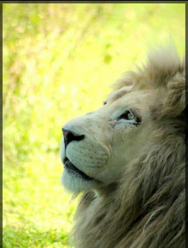 Lion blanc@parc des félins