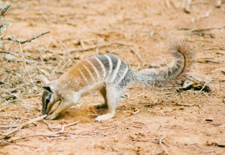 The endangered Numbat only eats termites - up to 20,000 a day!  It is well equipped for a life of snacking on termite with well-developed sense of smell to locate the shallow and unfortified underground galleries that termites construct between the nest and their feeding sites, strong claws to rip into these galleries and a long snout and long sticky tongue which is flicks out in search of those oh so tasty morsels.