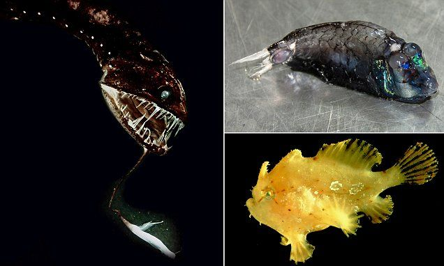 From frogfish to sawtooth eels: Researchers baffled by diverse ecosystem off Hawaii's Big Island   Read more: http://www.dailymail.co.uk/sciencetech/article-3814881/Researchers-sample-unusually-rich-deep-sea-area-Hawaii.html#ixzz4LzrSgVlZ  Follow us: @MailOnline on Twitter | DailyMail on Facebook