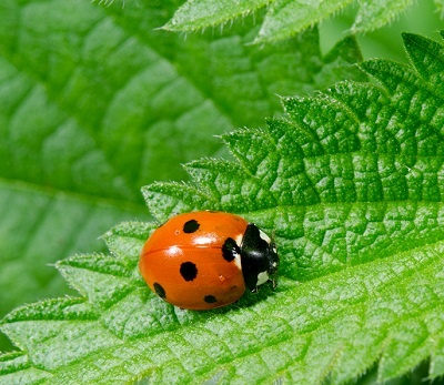ladybug and aphid coloring pages - photo#33