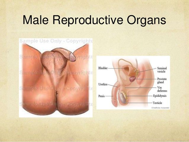 anatomy-and-physiology-of-the-male-and-female-reproductive-system-2-638.jpg?cb=1421483541