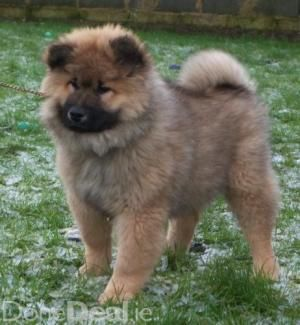 Eurasier dog photo | Pedigree KC Registered Eurasier Puppies in Coleraine, Londonderry born ...