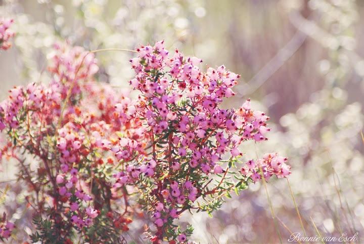 Pink Fynbos-A Summer flower in South Africa