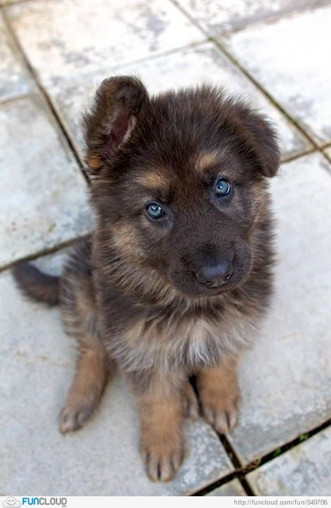 Little German shepherd pup am i seeing things does this baby have blue eyes god bless u my angel peace b with u