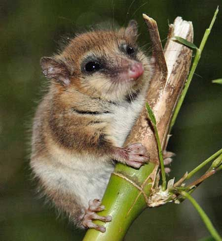 Monito del monte or colocolo opossum,Dromiciops gliroides,is a tiny nocturnal and arboreal marsupial that lives in thickets of South American mountain bamboo in the Valdivian temperate rain forests of the southern Andes