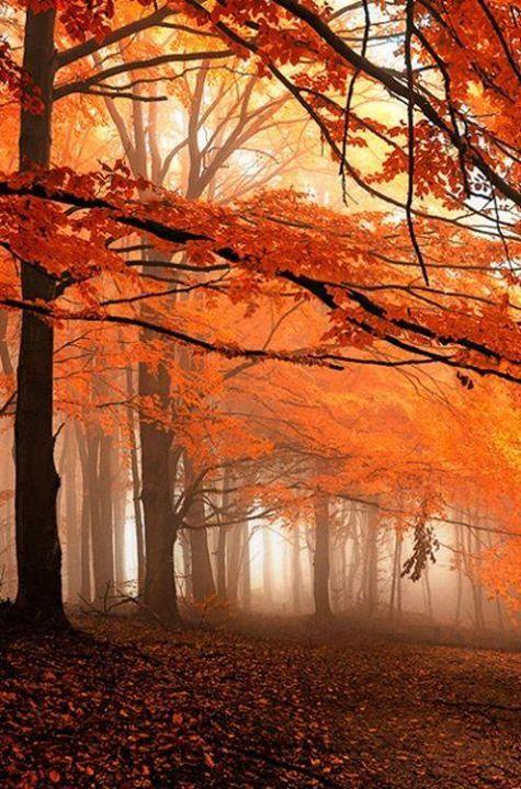 .Autumn Oranges, woodland trail, pathway, Sugar Maple, foggy mist