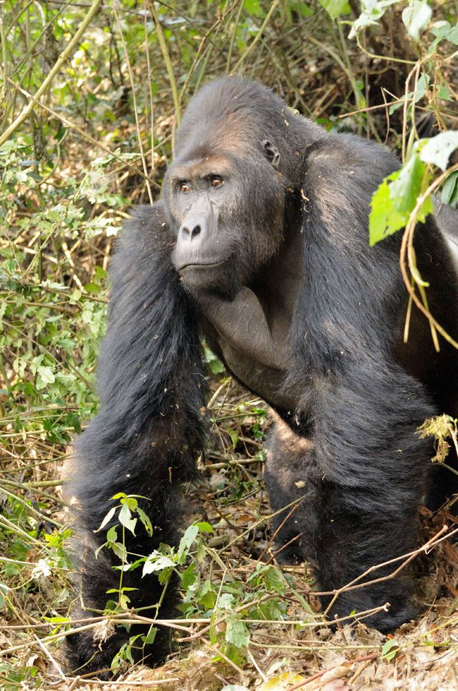 World's Largest Gorillas Are at Risk (Photos)