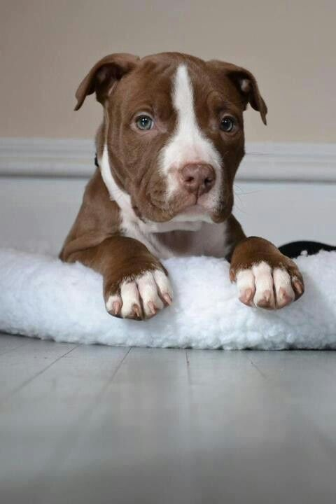 Pit Bull Facts