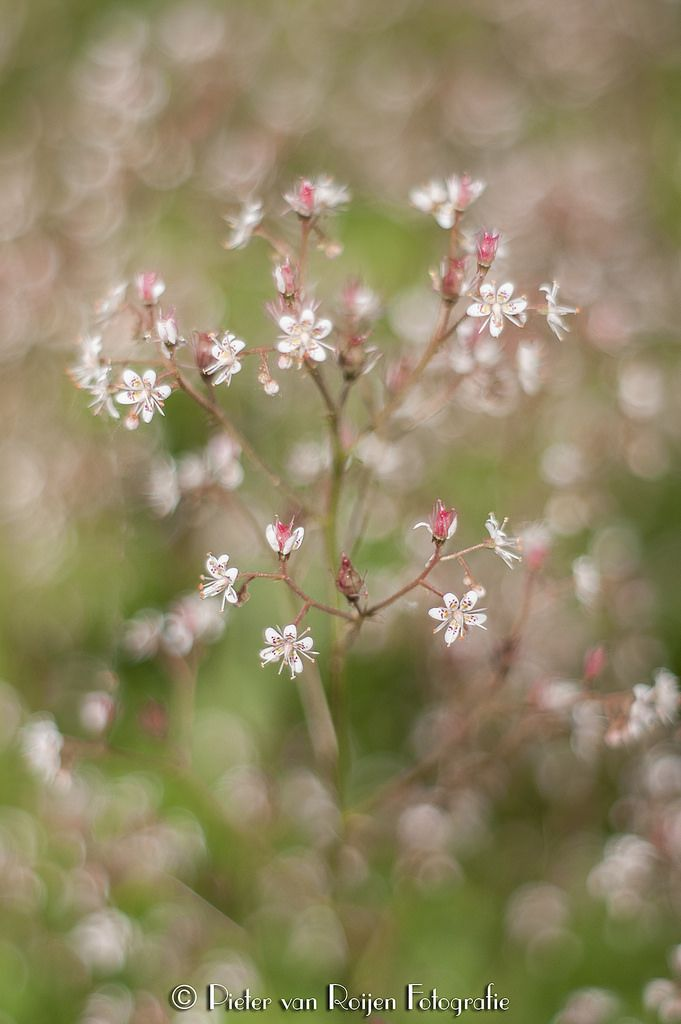 https://flic.kr/p/VahTs4 | London Pride (Saxifraga × urbium) | Saxifraga × urbium is a perennial garden flowering plant. Alternative names for it include St. Patrick's Cabbage, Whimsey, Prattling Parnell, and Look Up And Kiss Me.  Made with Konica Minolta 7D and Minolta 50mm f/1.7 AF