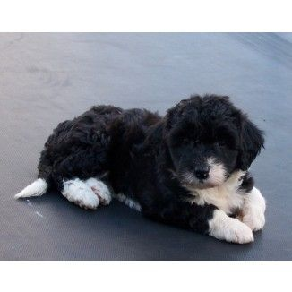 Bordoodle (Border collie Poodle cross). This will be my puppy.