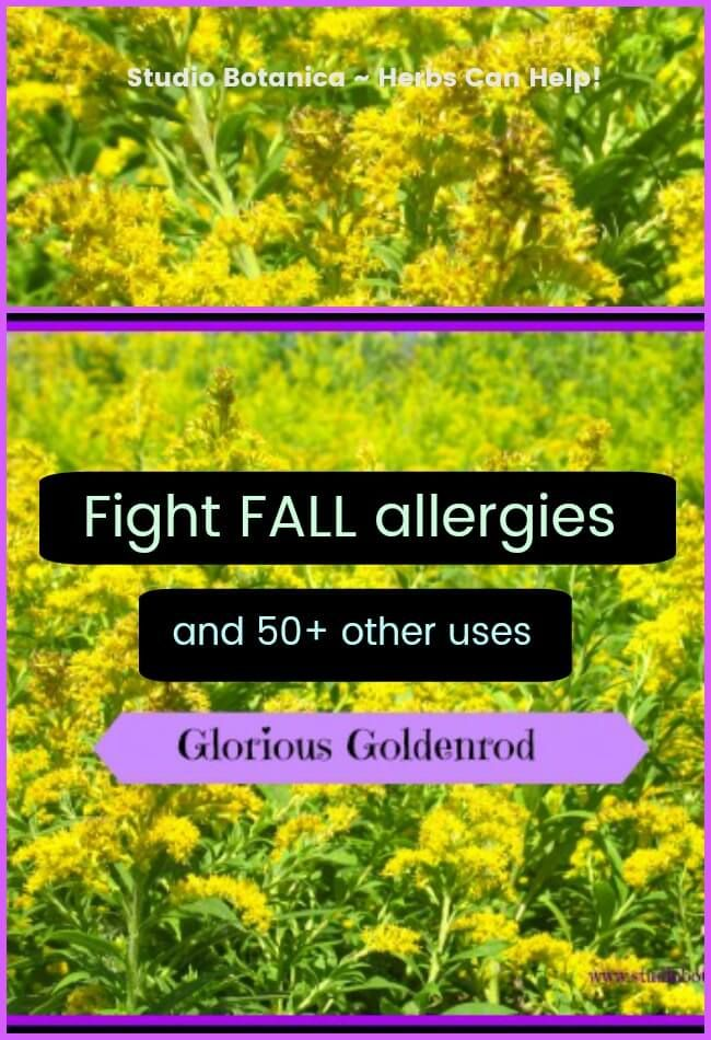 Glorious Goldenrod ~ health benefits | Herbal Remedies and