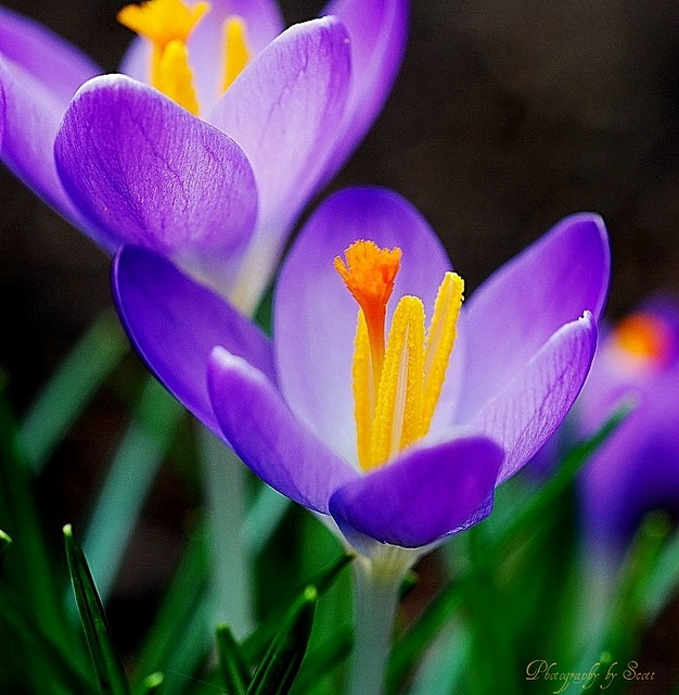 261 best 2 hu images on pinterest crocus first welcome flower of spring mightylinksfo