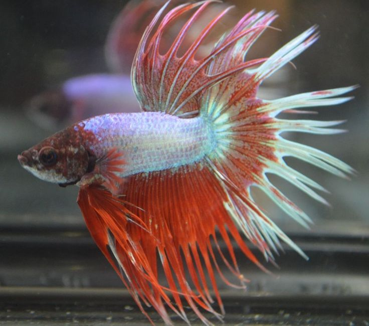 Live betta fish oddball funky dark head white on tail for Fish that can live with betta fish