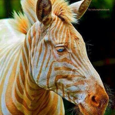 Born on the Island of  Moloka'i Hawaii, Zoe is the only captive white golden zebra in existence