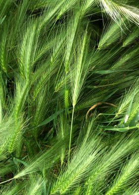 prints on metal Other green nature flora photograph ear wheat abstract