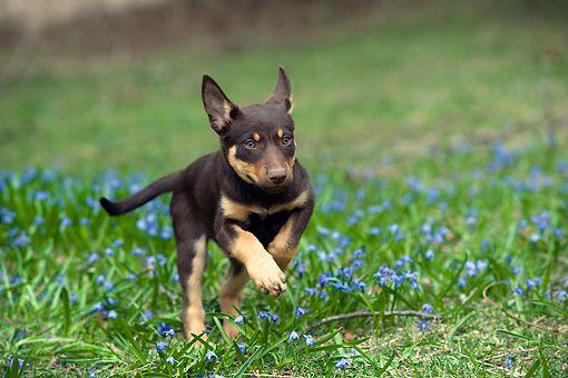 kelpie puppy running in blue flowers
