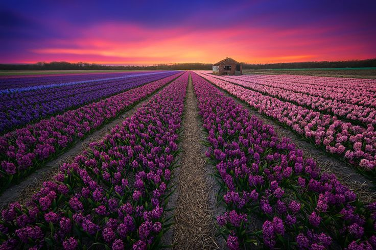 Holland Flowers by Albert Dros
