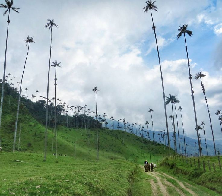 Valle de Cocora Colombia: home to the world's tallest palm trees & an occasional farmer on horseback for scale