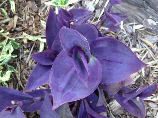 Tradescantia pallida 'Big Bertha' (Big Bertha Purple Heart)