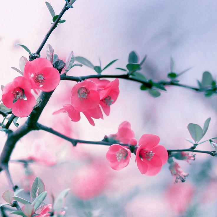Pink Blossom Flowers iPad Wallpaper HD #iPad #wallpaper