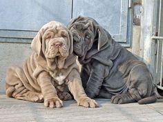 Cachorros de Mastín Napolitano en dos de los colores permitidos, gris plomizo y leonado