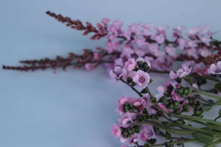 Linaria and pink forget me not