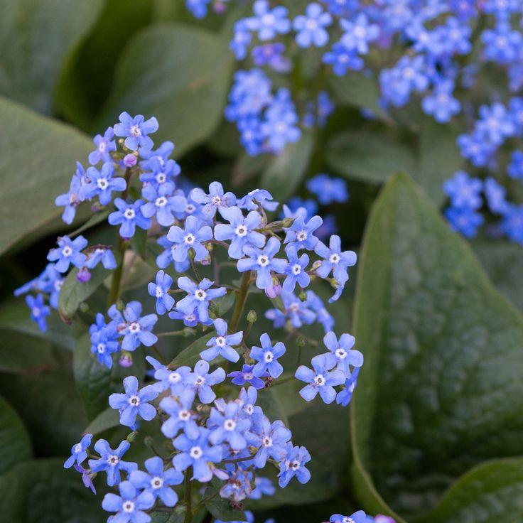 Бруннера крупнолистная / Brunnera macrophylla