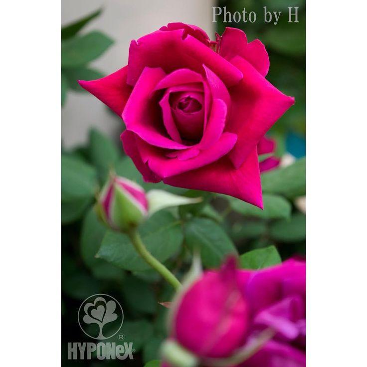 クリムゾン・グローリーを撮りました。ゴージャスなザ・バラ!という感じでステキですよね! #ハイポネックス #ガーデニング #園芸 #植物 #植物のある暮らし #花のある暮らし #植物好きと繋がりたい #hyponex #plants #flowerslovers #gardening #flowerstagram #botanical #greensnap #国際バラとガーデニングショウ #バラ #ハイポネックスバラ部 #HappyRoseBox #ハッピーローズボックス #クリムゾングローリー http://gelinshop.com/ipost/1515685453012059098/?code=BUIy-OaAsPa