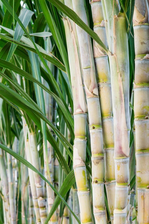 Sugar Cane Green Sugar Cane On Bright Sunny Day Sponsored Green Cane Sugar Sugar Day Ad Stock Images Image Sugar Cane