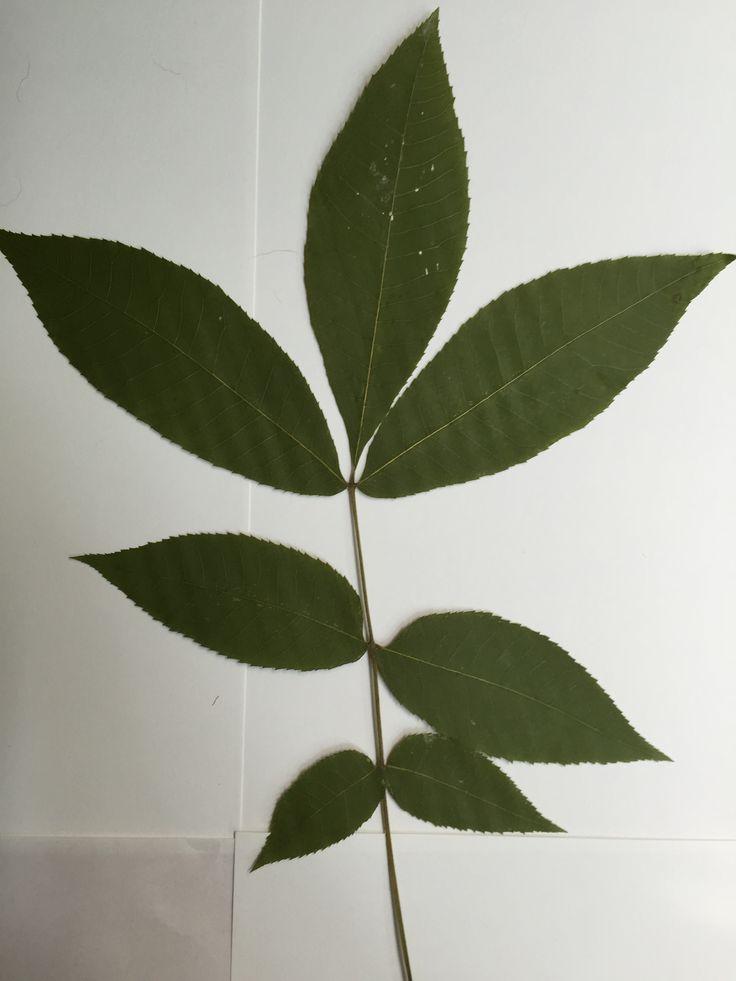 Bitternut Hickory - Leaf