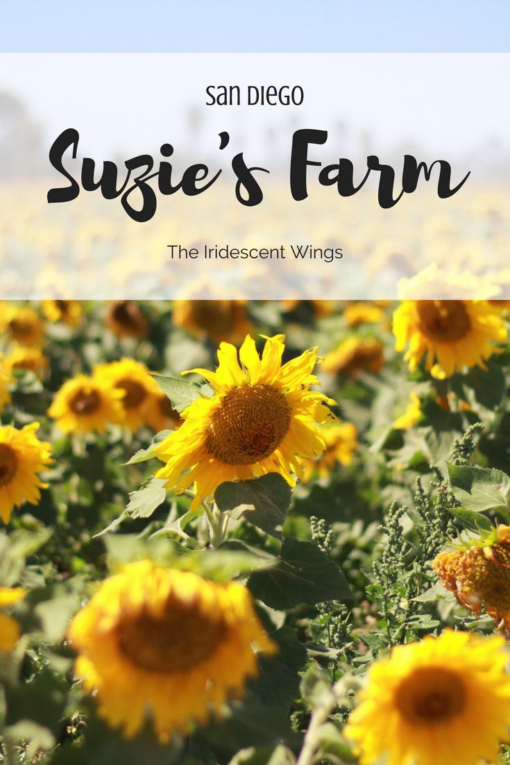 Frolicking in a Field Of Sunflowers Suzie's Farm San Diego, California By The Iridescent Wings Read about it | https://www.theiridescentwings.com/single-post/2016/10/05/Frolicking-in-a-Field-of-Sunflowers-Suzies-Farm-San-Diego-California