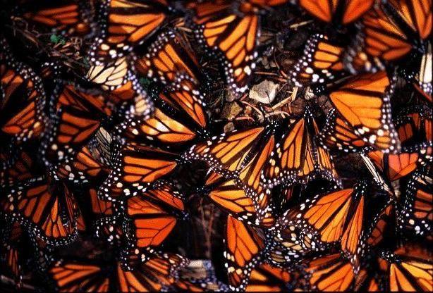 monarch13.jpg (614×416)