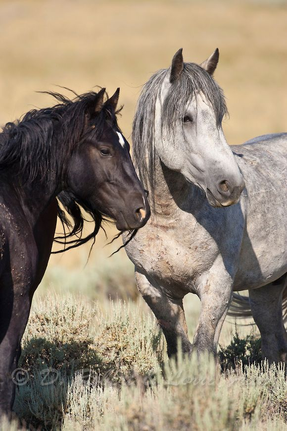 Wyoming wild mustangs | Yellowstone Nature Photography by D. Robert Franz