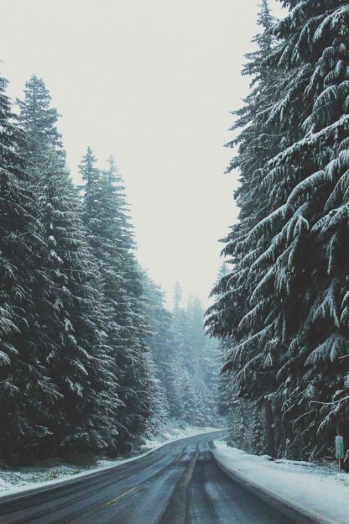 snowy road winter trees pines pine trees road snow photo photograph