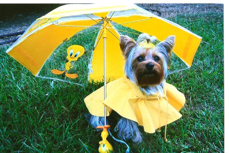 A Yorkie needs a rain coat in the rain