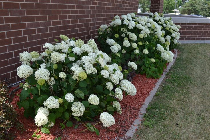 Annabelle Hydrangea Is A Deciduous Flowering Shrub With
