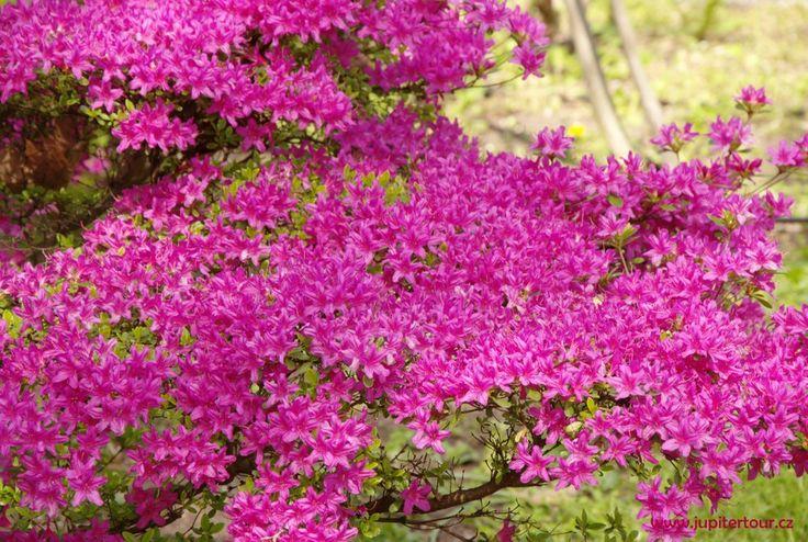 Рододендроны в пражском ботаническом саду