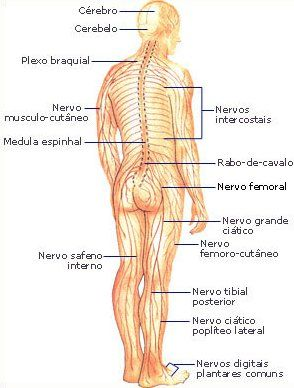 sistema nervoso corpo