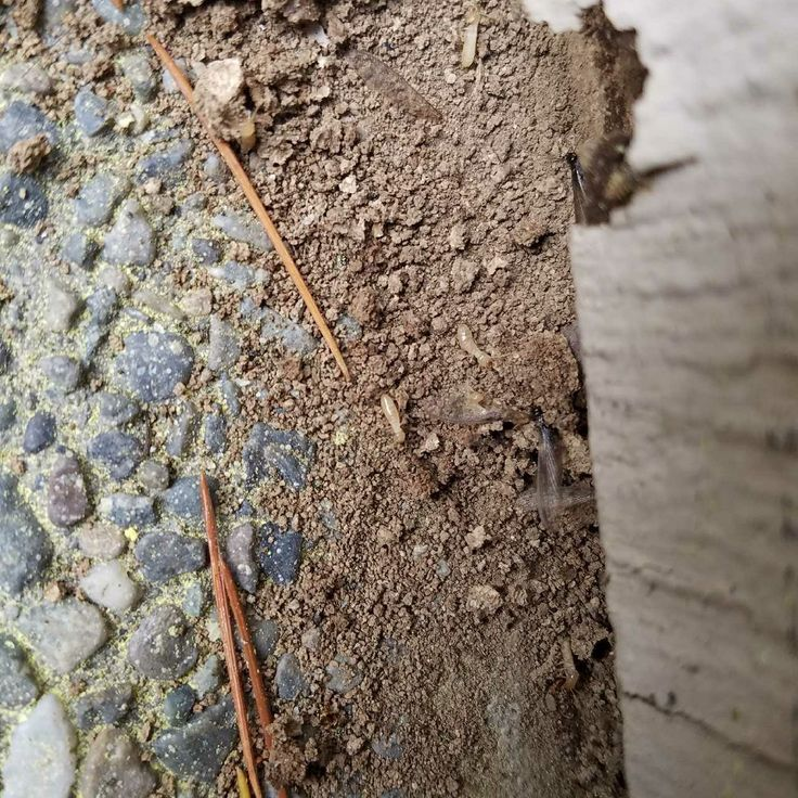 Generally, termites swarm on a warm day after a rainfall. Swarms also may occur during the winter in heated buildings. The swarming habits of the most common species in Washington are described below.  Thewestern subterranean termiteswarms during the day in the local rainy season in autumn, winter or early spring.Thewestern drywood termiteswarms in coastal Washington during the day in the summer.ThePacific dampwood termitetypically swarms from August to October, just before dusk.