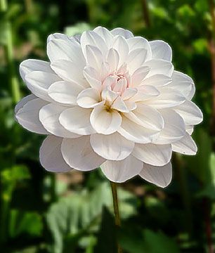 Dahlia 'Porcelain': waterlily.