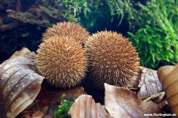 #Igelbovist oder #Igelstäubling (#Lycoperdon echinatum) http://www.florilegium.de/blog/sammelsurium/pilze-suchen-heimische-pilzexkursion.html