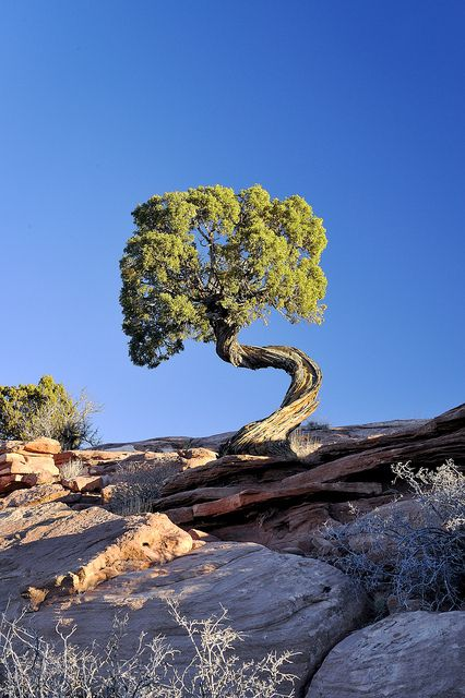 Twisted Tree ... Moab, Utah    by jetguy1 via Flickr