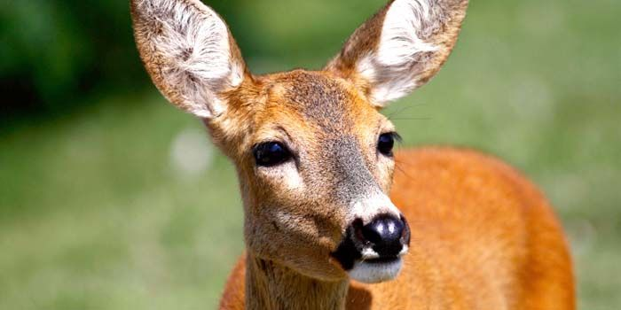 Do not let Wokingham Borough Council kill this lonely deer to protect an allotment! (166181 signatures on petition)