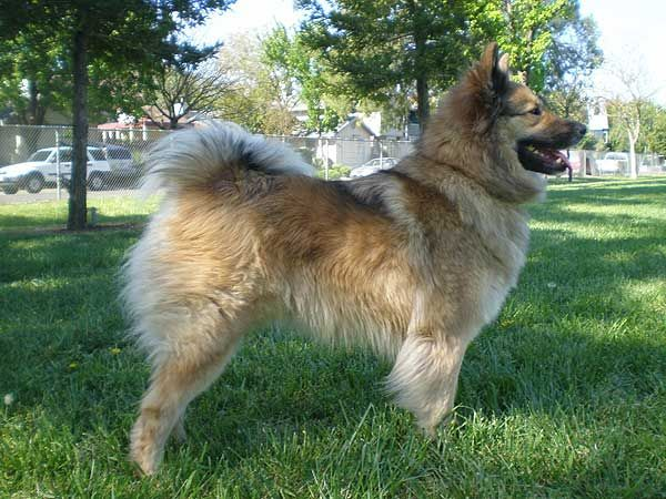 Image Result For Keeshond Golden Retriever Mix Puppy
