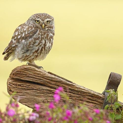 A wonderful little wild owl Athene noctua on an old gate with wildflowers besides a field of summer Barley. . Discover the amazing world of wild bird photography with pro Simon Roy. Were going to be sharing more of his images this week  . Check out his column in the latest issue of @practicalphotography  Preorder in digital or print this Thursday at the link in the description  via Practical Photography on Instagram - #photographer #photography #photo #instapic #instagram #photofreak…