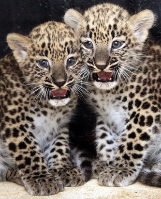 Leopard Cubs at German Zoo, its baby season after all