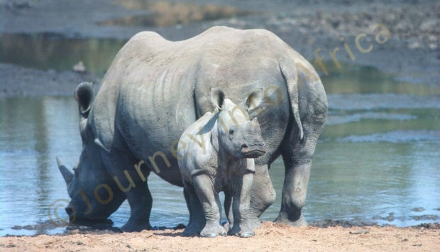 The Botswana Rhino - view this magnificent animal in its natural habitat.